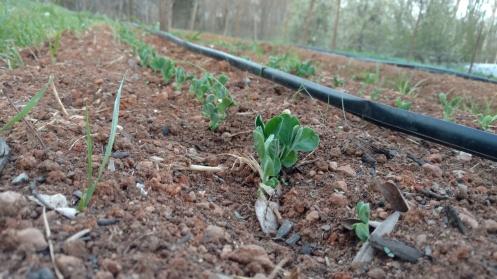 farm, sweet peas