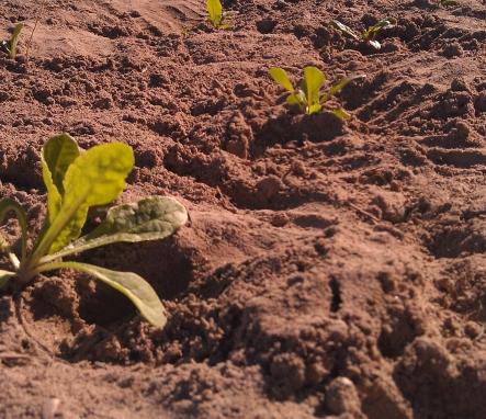chard, soil, farm